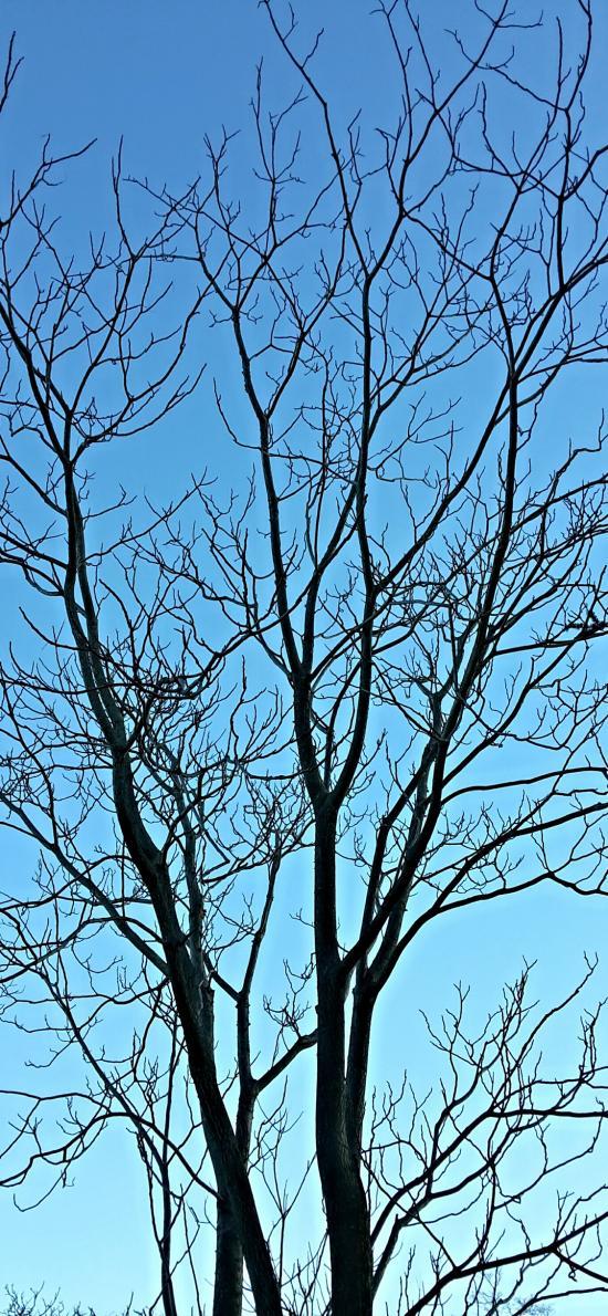 樹木 枝干 藍色 漸變