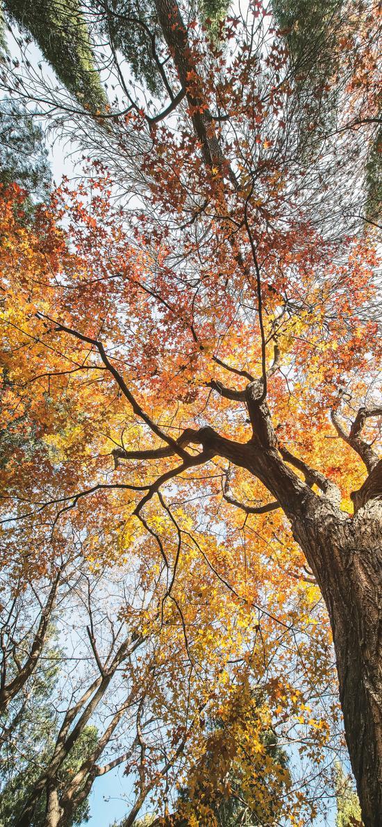 樹木 仰拍 枯黃 秋季