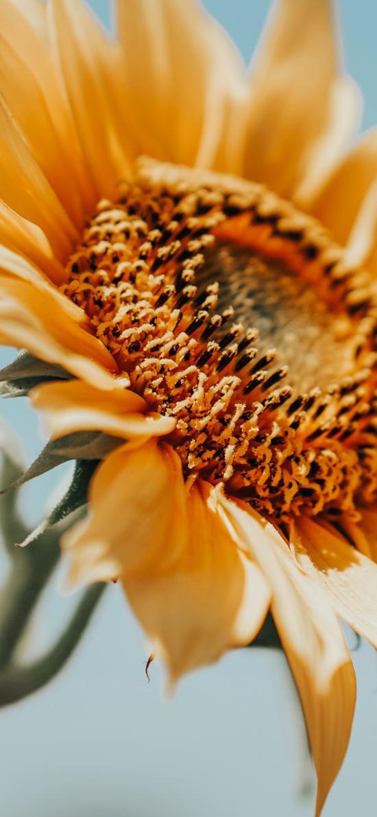 花盘 向日葵 葵花 阳光