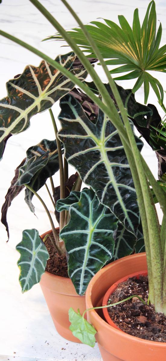 盆栽 綠植 黑葉觀音蓮