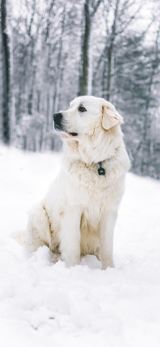 狗 雪地 皮毛 宠物 项圈