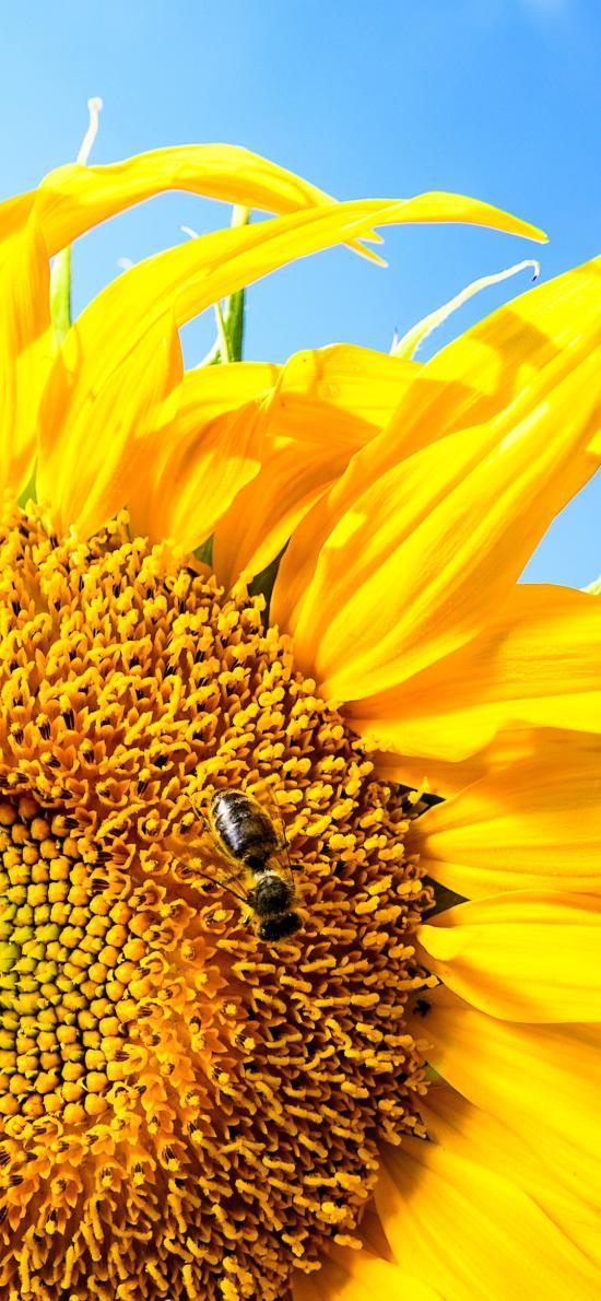 向日葵 鮮花 盛開 蜜蜂