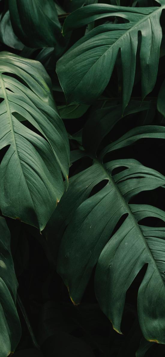 綠植 龜背竹 枝葉 綠化