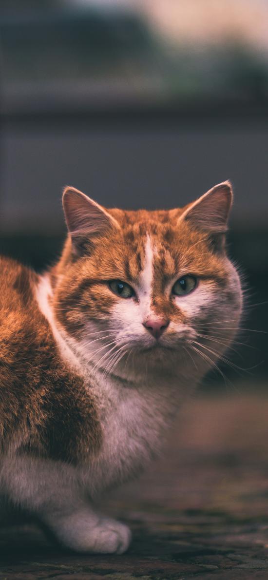 猫咪 橘猫 肥猫 宠物