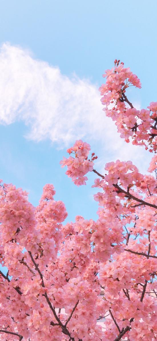樱花 粉色 鲜花 春天 浪漫