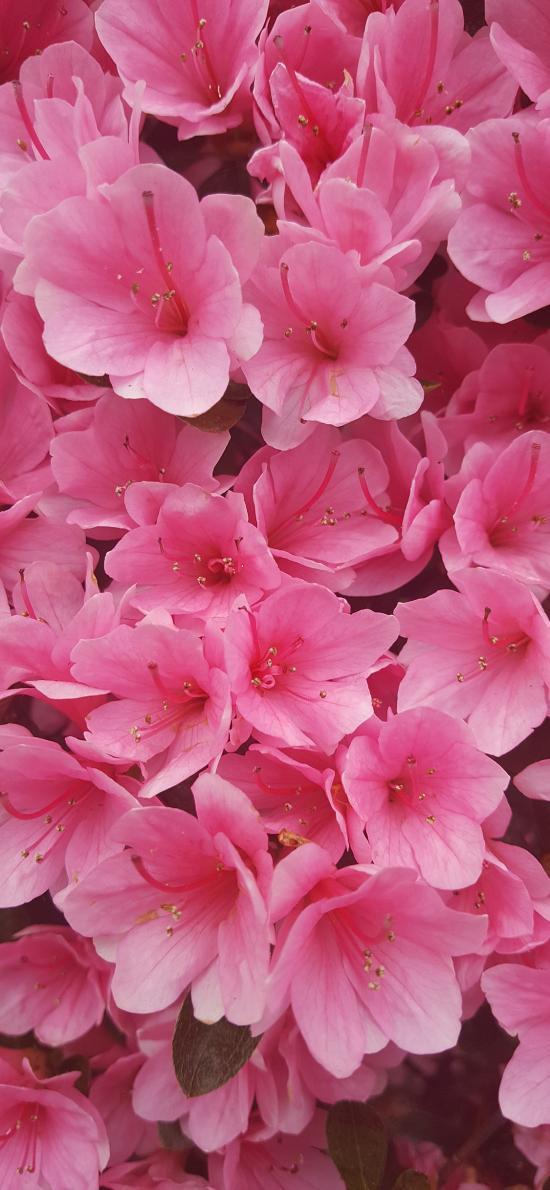映山紅 鮮花 粉色 盛開 春天