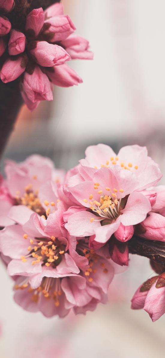 樹枝 鮮花 粉色 盛開