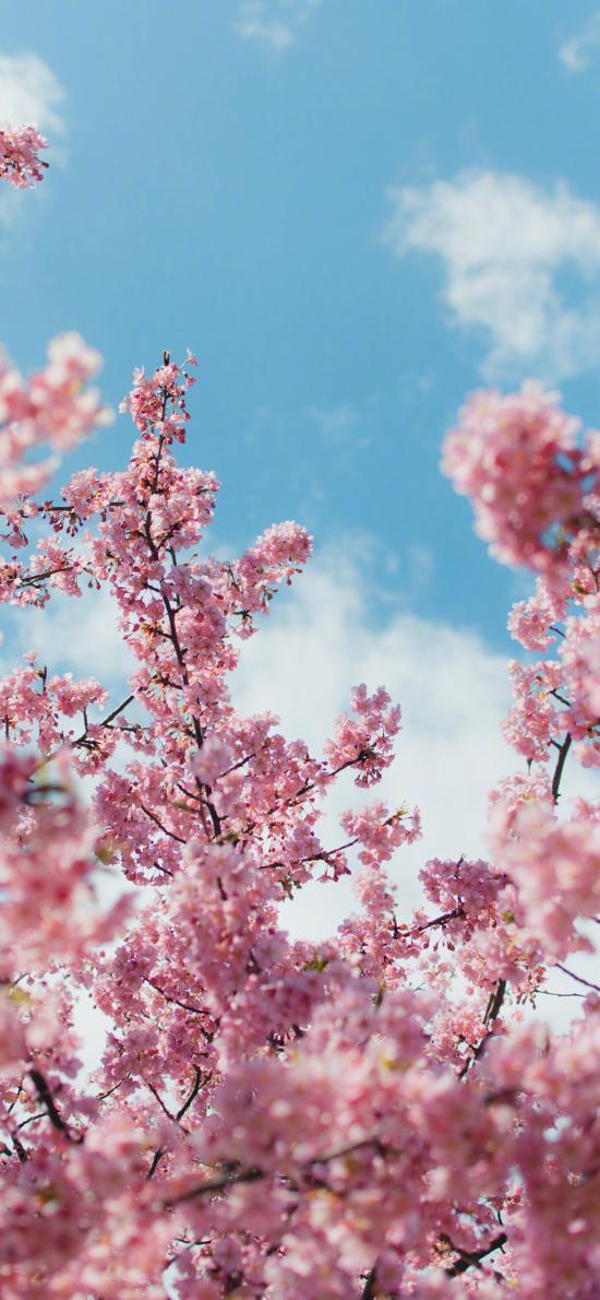 櫻花 鮮花 枝頭 盛開 春天