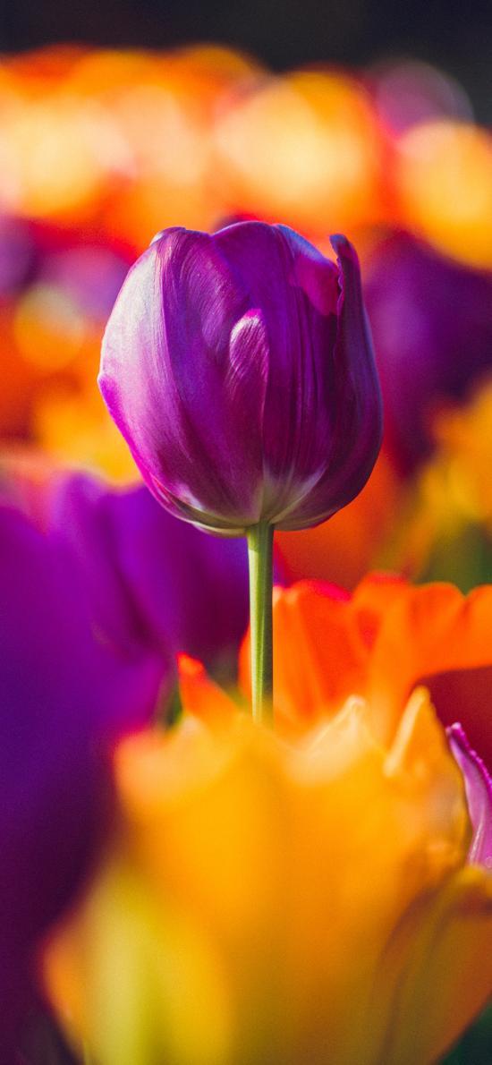 荷蘭國花 郁金香 紫色 花苞