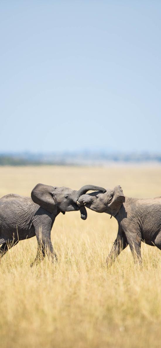 大象 草原 野生 打架
