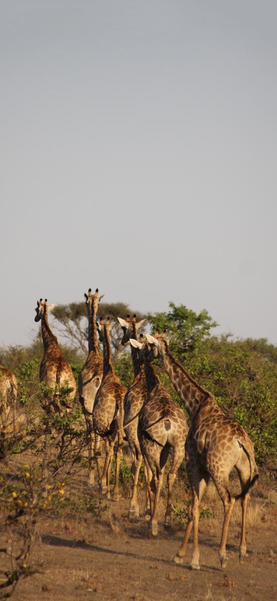 长颈鹿 野生 种群 斑纹