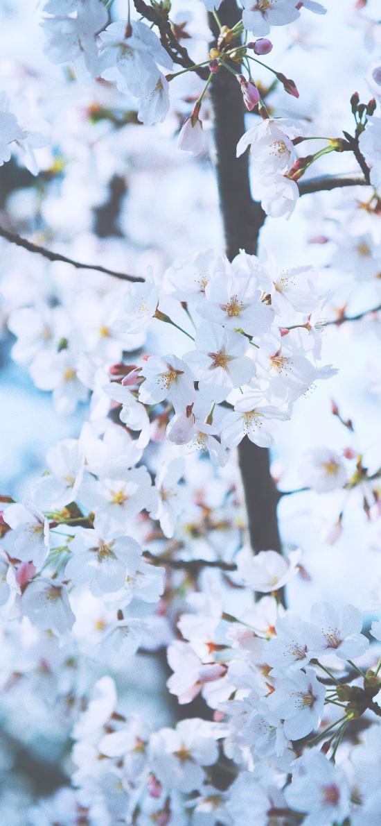 鲜花 枝头 盛开 白色 春天