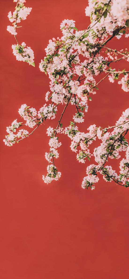 梨花 枝头 盛开 红墙 故宫 鲜花