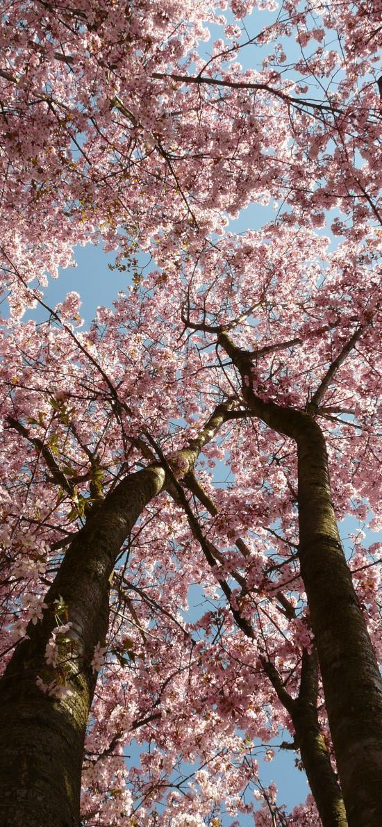 樱花 粉色 树木 盛开 鲜花