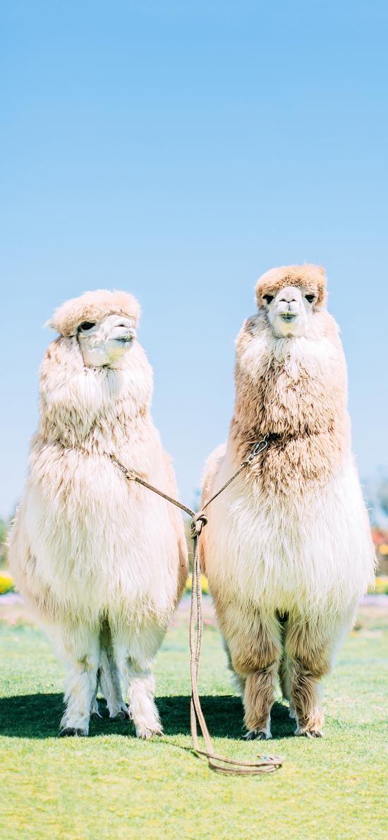 羊驼 草泥马 皮毛 可爱 萌 草坪