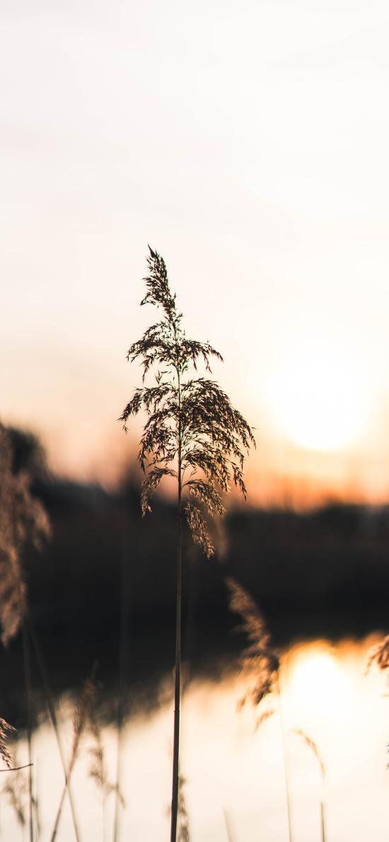 草叢 蘆葦 落日