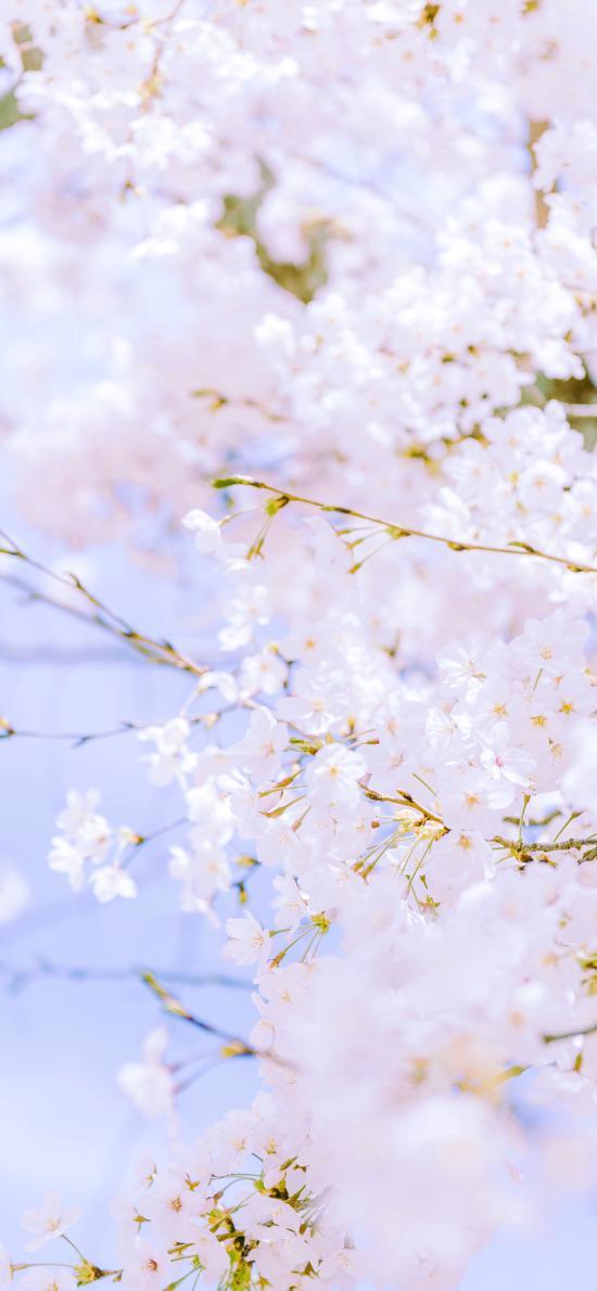 櫻花 鮮花 盛開 粉色 枝頭 春天