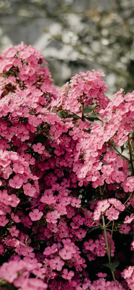 鮮花 粉色 枝頭 盛開 花簇