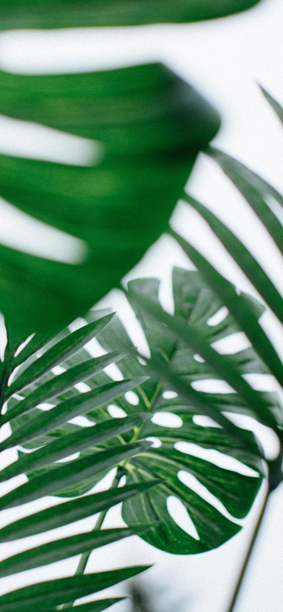 樹葉 枝葉 龜背竹 綠化