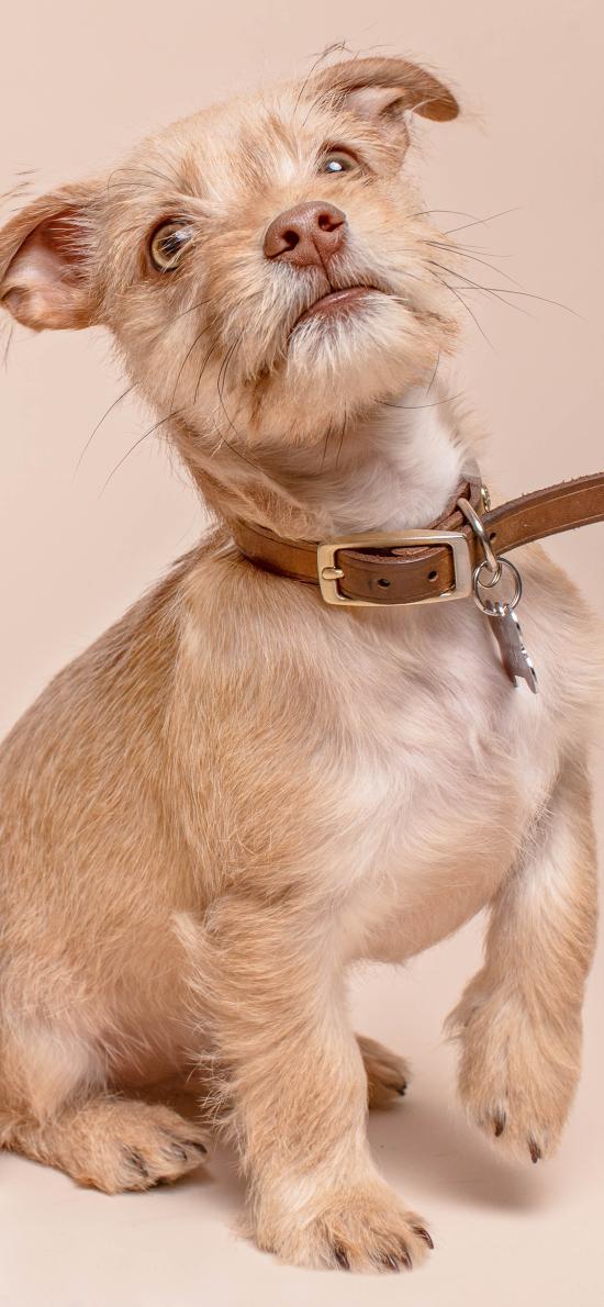 狗 宠物 项圈 犬类