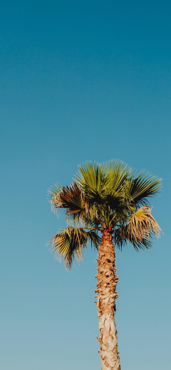 椰树 天空 蔚蓝 树木