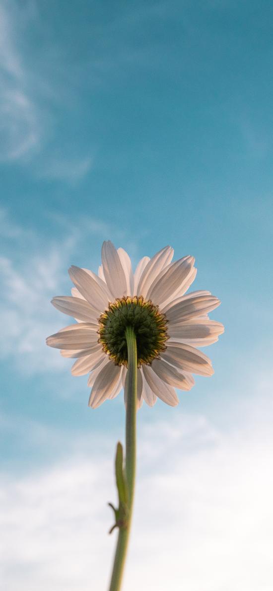 鲜花 雏菊 天空 蔚蓝