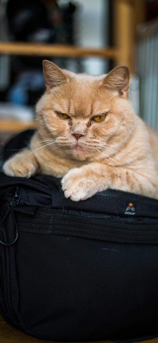 猫咪 宠物 肥猫 橘猫