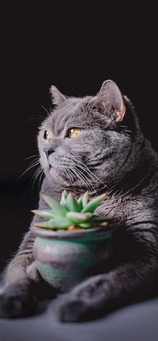 猫咪 宠物 肥猫 灰 盆栽 多肉