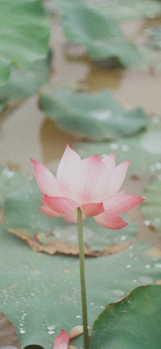 荷塘 荷叶 荷花 盛开 鲜花