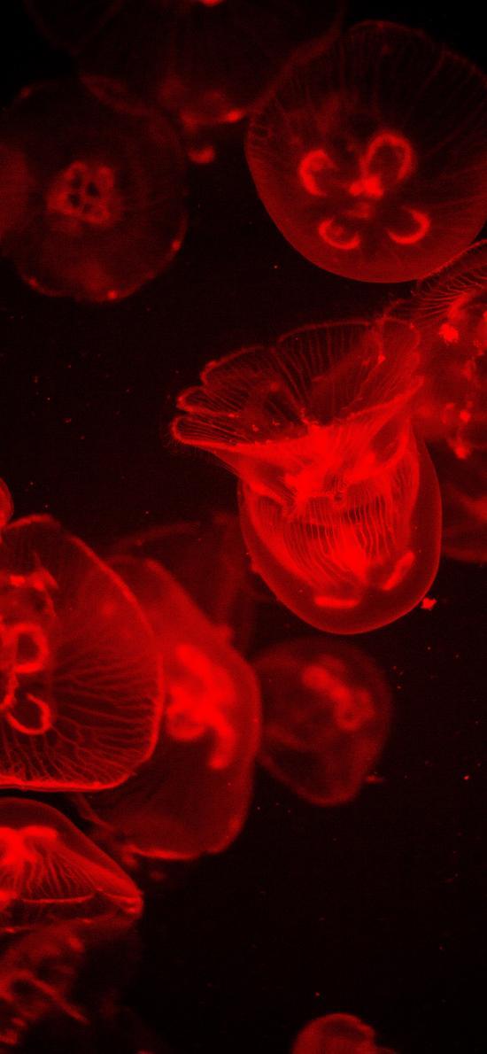 水母 透明 浮游 红光
