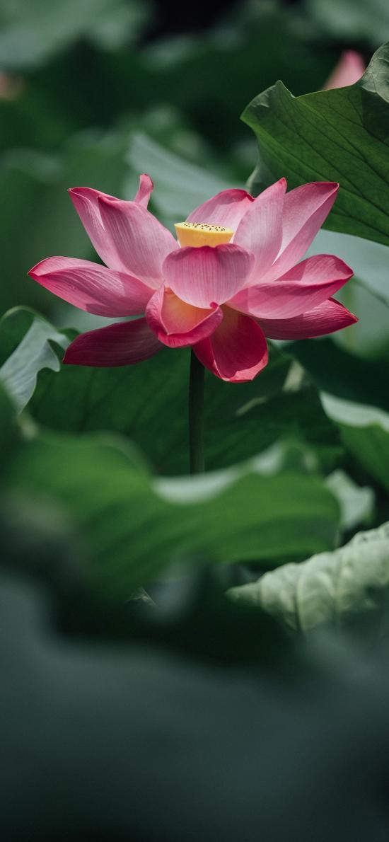 荷叶 荷花 粉色 莲蓬