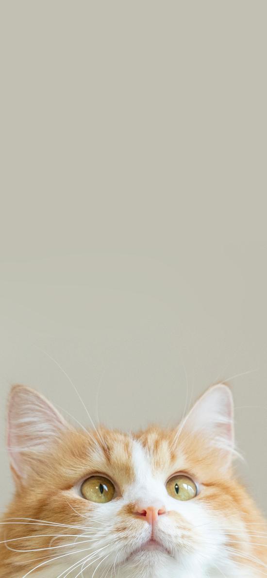 猫咪 橘猫 肥胖 宠物