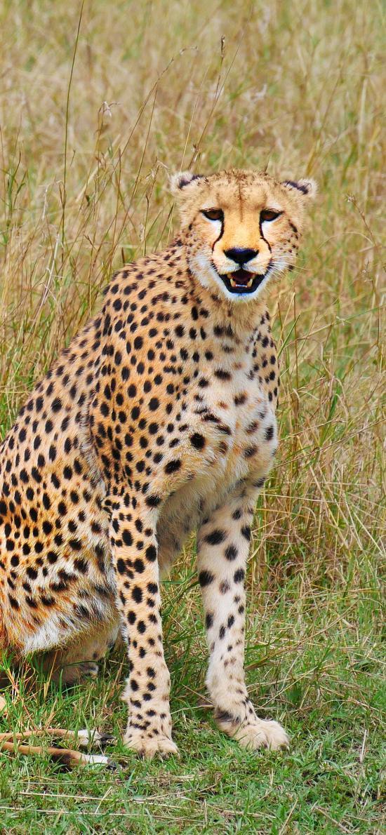 豹 野外 捕食 猎豹 猛兽
