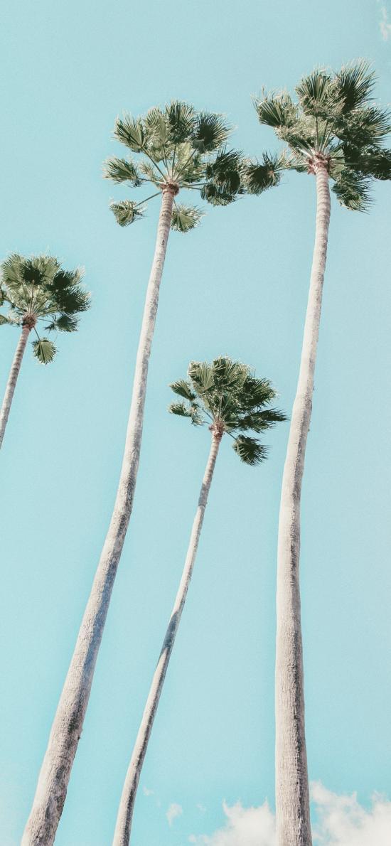 椰树 高耸 树干 蓝天