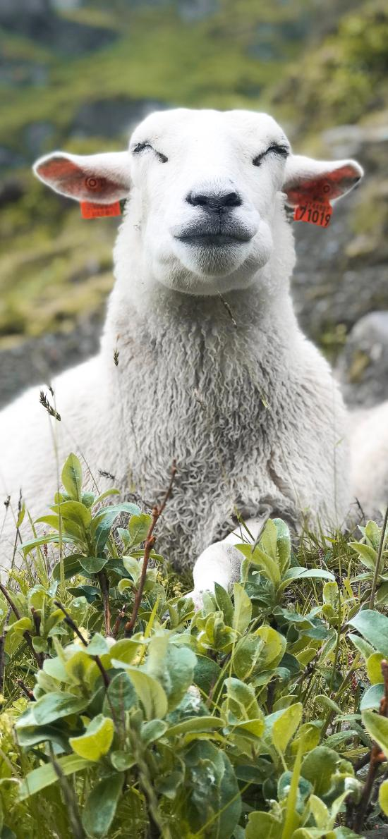 羊 草地 放牧 牲畜