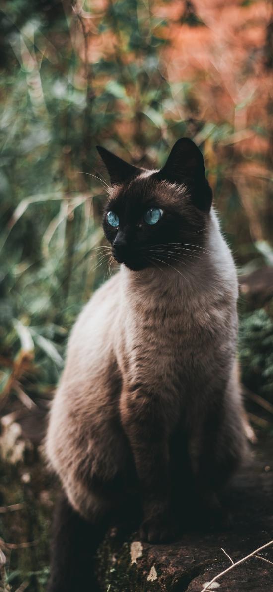 暹罗猫 宠物 猫咪 皮毛