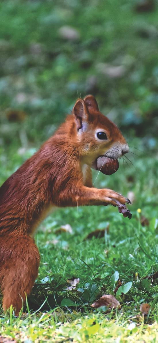 松鼠 草地 觅食 尾巴