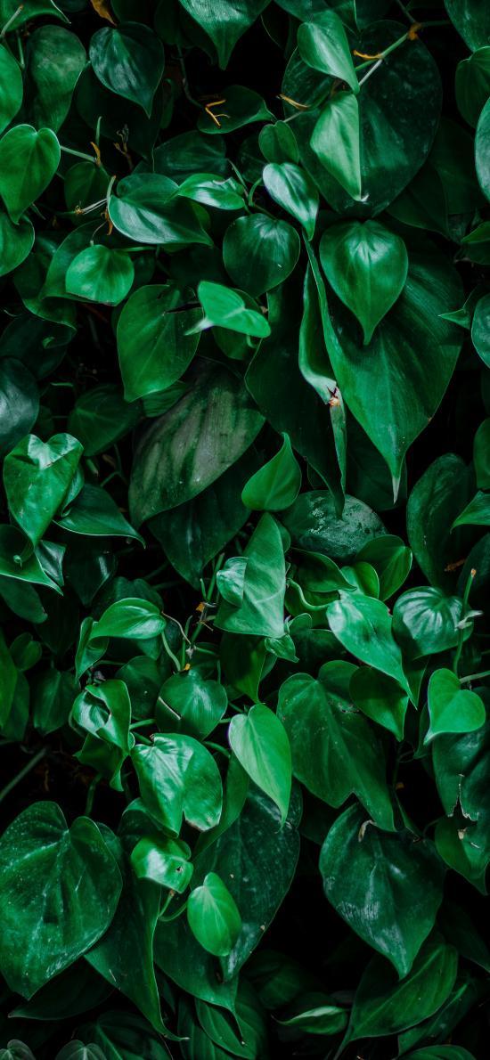 绿萝 碧绿 生长 绿植