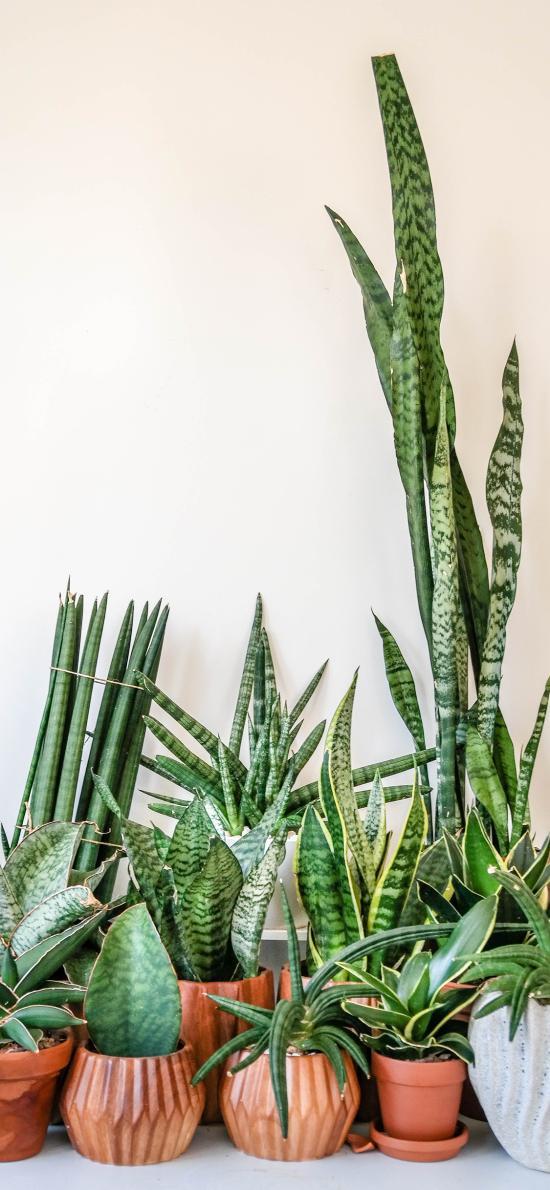 盆栽 绿植 观赏 绿化 龙舌兰