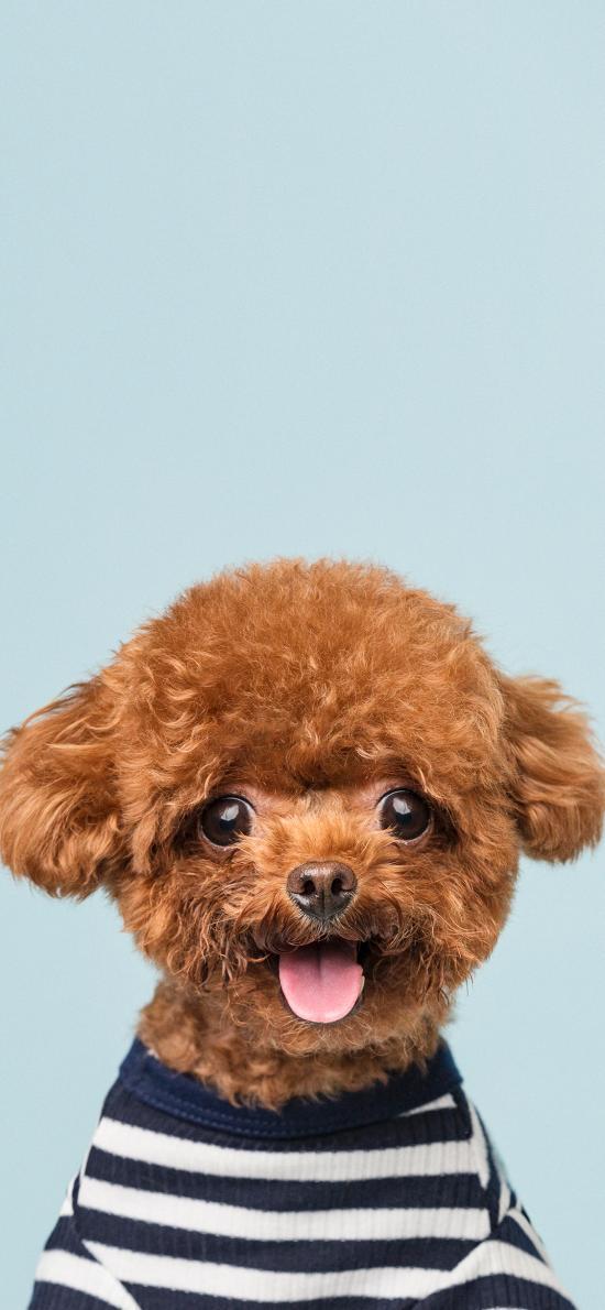 宠物 泰迪 可爱 狗