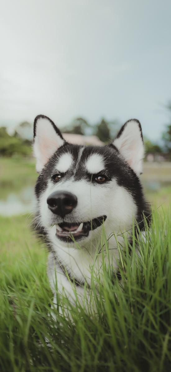 哈士奇 二哈 狗 宠物