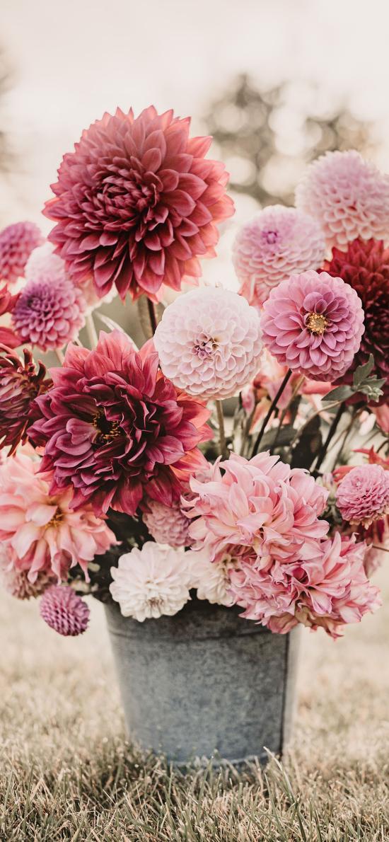 铁桶 鲜花 大丽花 鲜艳