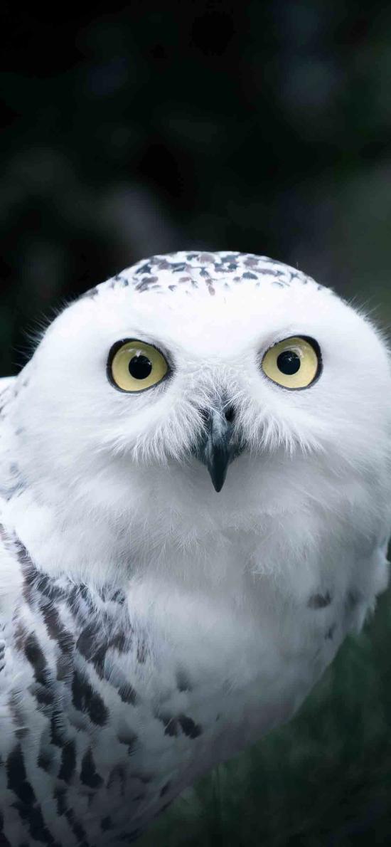 飛鳥 貓頭鷹 夜行動物 白色