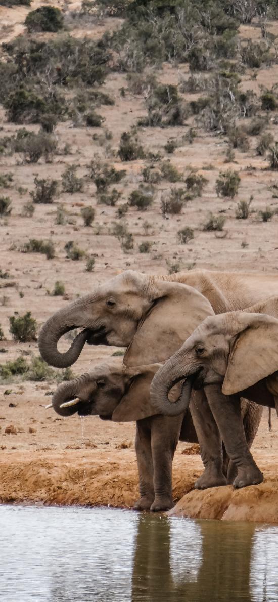 大象 河岸 飲水 野外