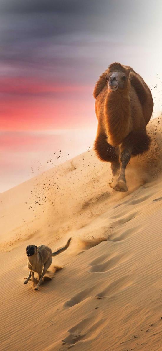 駱駝 狗 追逐 沙漠