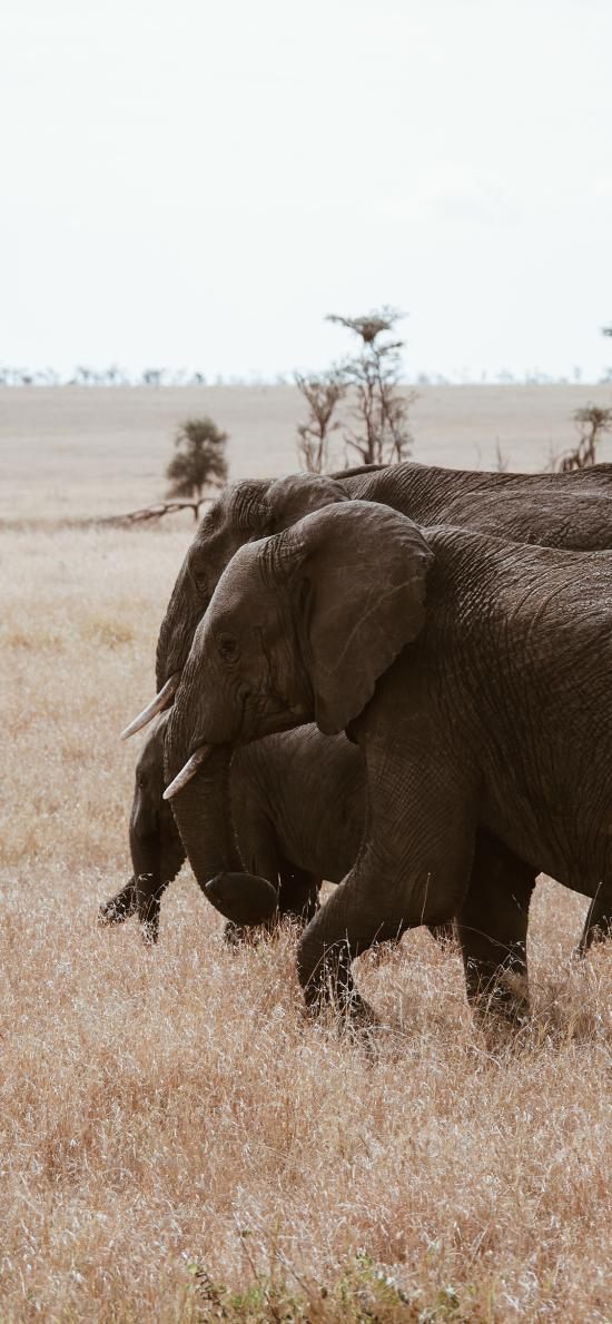 野外 大象 群居 草地 象牙