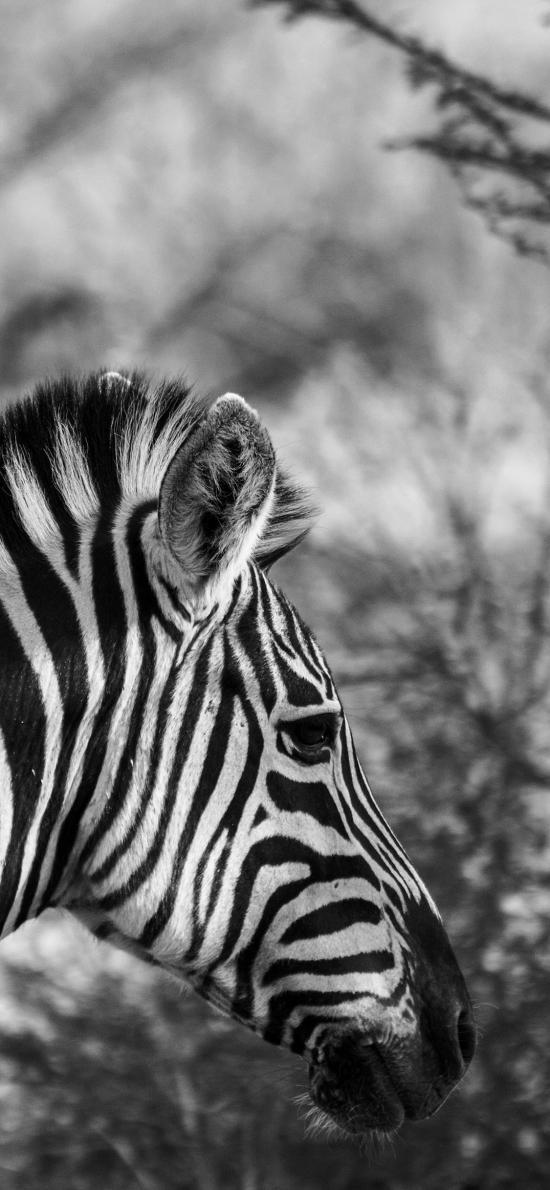 斑马 黑白 牲畜 野外