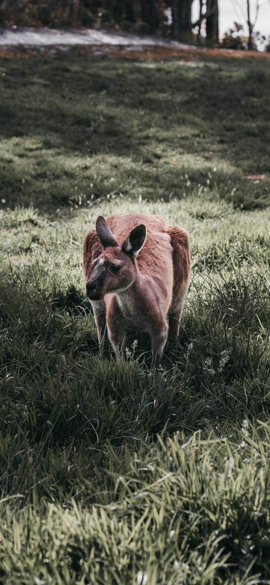 袋鼠 草地 澳洲 国宝