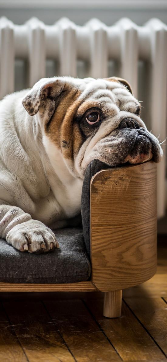 沙皮 宠物 犬类 木椅