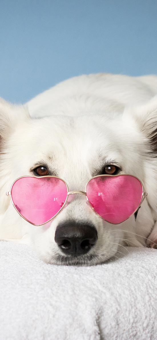 宠物 眼镜 白狗 可爱